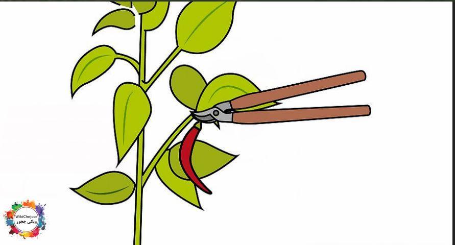 کاشت فلفل قرمز | چگونه فلفل قرمز(تند) را در خانه پرورش دهیم؟