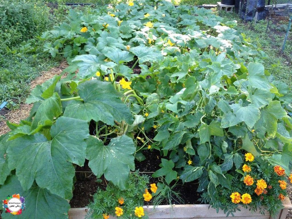 چگونه کدو سبز پرورش دهیم؟