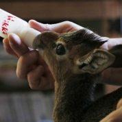 چگونه به بچه گوزن شیر دهیم؟