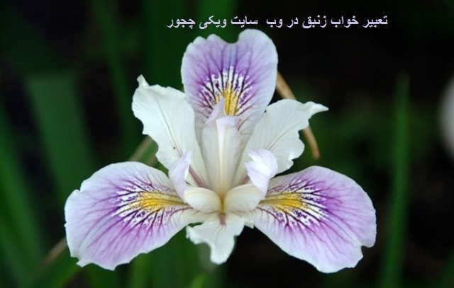 تعبیر خواب زنبق