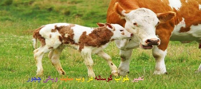 تعبیر خواب گوساله